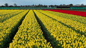Cultivated Yellow Tulip Fields stock footage