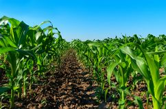 Cultivated young corn. Farm field with maize rows. Cultivated young corn royalty free stock photos