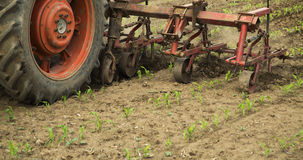 Cultivating field of young corn crops stock image