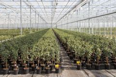 Cultivating Fuchsia plants in a Dutch greenhouse Stock Photo