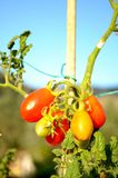 Cultivating Italian organic tomatoes, vertical. Cultivating Italian organic tomatoes, the plant of tomato with some red and some yellow unripe fruit, vertical royalty free stock photo