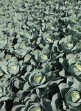 cultivating many cabbages in northern Europe stock photos