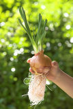 Cultivating onion Royalty Free Stock Photos