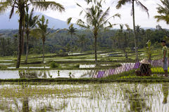 Cultivating paddy field in Indonesia Royalty Free Stock Images