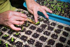 Cultivating Plant, Hands transplanting young plant Royalty Free Stock Photos