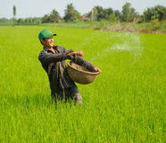 Cultivating rice in vietnam 3 Stock Photo