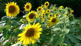 Cultivating sunflowers in a field Royalty Free Stock Photography
