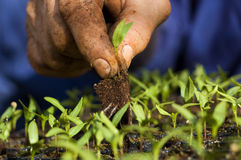 Cultivation. Man plants a pepper seedling. Background out of focus Royalty Free Stock Images