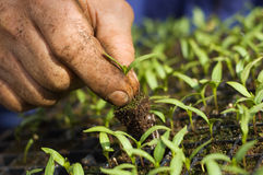 Cultivation. Man plants a pepper seedling. Background out of focus Stock Images