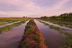 Cultivation of aquatic vegetable in paddy field in Thailand. Ipomea Stock Image