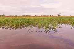 Cultivation of aquatic vegetable in paddy field in Thailand. Ipomea Stock Photos