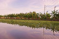Cultivation of aquatic vegetable in paddy field in Thailand. Ipomea Royalty Free Stock Photography