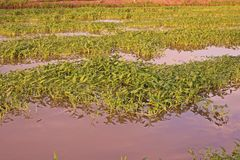Cultivation of aquatic vegetable in paddy field in Thailand. Ipomea Royalty Free Stock Image