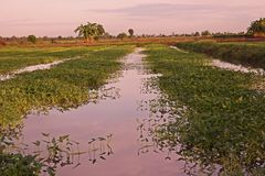 Cultivation of aquatic vegetable in paddy field in Thailand. Ipomea Stock Photography