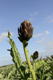 Cultivation of Artichokes Stock Images