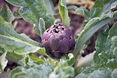 Cultivation of artichokes Stock Image
