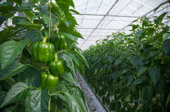 Cultivation of bell peppers. Cultivation of green bell peppers in a commercial greenhouse in the netherlands stock photos