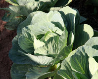 Cultivation  Cabbage vegetable on a kitchen garden Stock Photo