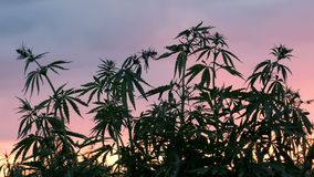 Silhouette of the tops of branches of wild hemp on a background of sunset. Cultivation of the cannabis.