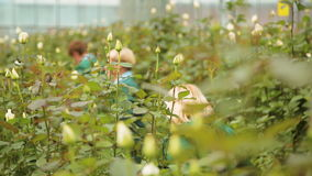 The cultivation and care of Dutch roses stock footage