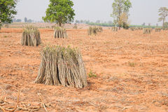 The cultivation of cassava plantation at field. Stock Images