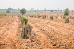 The cultivation of cassava plantation at field. Stock Photography