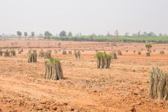 The cultivation of cassava plantation at field. Stock Image