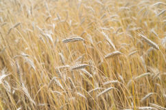 Cultivation of cereals. Golden fields of grain Royalty Free Stock Image