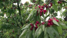 Italian cherry tree. A cultivation of cherries in the Italian countryside stock footage