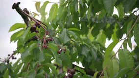 Italian cherry tree. A cultivation of cherries in the Italian countryside stock video footage