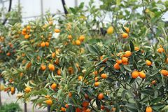 Cultivation of citrus fruits. Of all kinds in a greenhouse in Sicily in Italy Royalty Free Stock Image