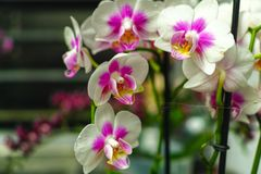 Cultivation of colorful tropical flowering plants orchid family royalty free stock image
