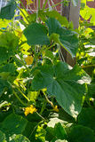 Cultivation of cucumbers in the garden Royalty Free Stock Images