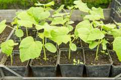 The cultivation of cucumbers in greenhouses. Stock Photography
