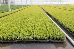 Cultivation of cupressus in a Dutch greenhouse. Cultivation of cupressus in a big Dutch greenhouse Stock Photos