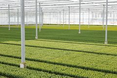 Cultivation of cupressus in a Dutch greenhouse. Big Royalty Free Stock Photo