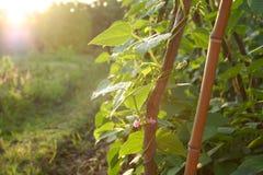 Cultivation des haricots photo libre de droits