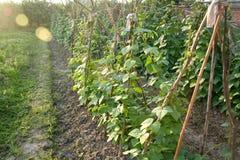 Cultivation des haricots Images libres de droits