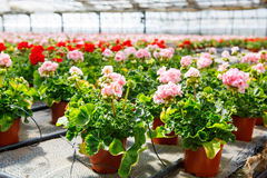Cultivation of differen flowers in greenhouse Royalty Free Stock Photo