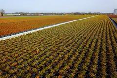 Cultivation on farm fields of Calluna vulgaris plants, heather p. Lant growth on thousands small flowerpots Stock Image