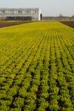 Cultivation on farm fields of Calluna vulgaris plants, heather p. Lant growth on thousands small flowerpots Stock Photo