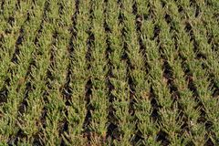 Cultivation on farm fields of Calluna vulgaris plants, heather p. Lant growth on thousands small flowerpots Royalty Free Stock Images