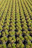 Cultivation on farm fields of Calluna vulgaris plants, heather p. Lant growth on thousands small flowerpots Royalty Free Stock Image
