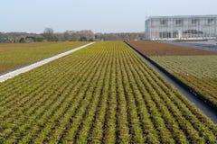 Cultivation on farm fields of Calluna vulgaris plants, heather p. Lant growth on thousands small flowerpots Stock Images