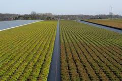 Cultivation on farm fields of Calluna vulgaris plants, heather p. Lant growth on thousands small flowerpots Royalty Free Stock Photography