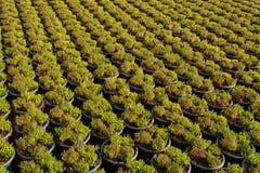 Cultivation on farm fields of Calluna vulgaris plants, heather p. Lant growth on thousands small flowerpots Stock Photography