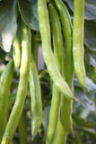 Fava beans Royalty Free Stock Photo