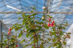 Cultivation of fuchsia in a Dutch greenhouse Stock Images
