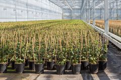Cultivation of fuchsia tied up to bamboo frame in a Dutch greenhouse Stock Photo