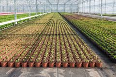 Cultivation of geraniums in a Dutch greenhouse Royalty Free Stock Images